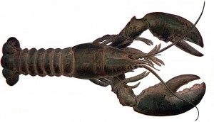 Cold Water Lobster